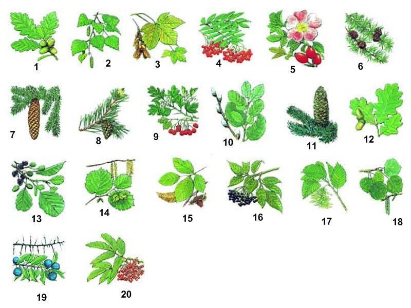 Waldpflanzen